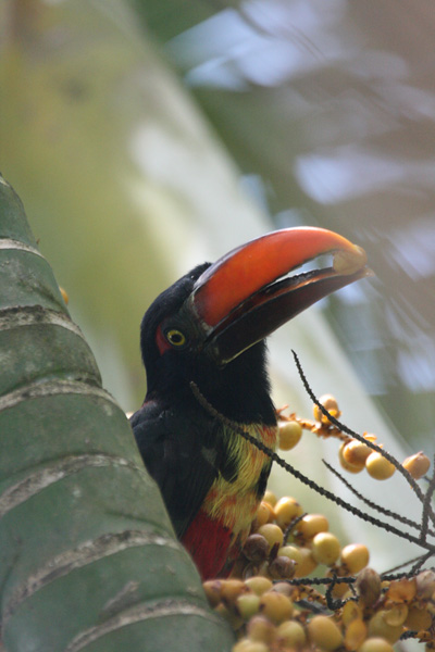Aracari-038.jpg